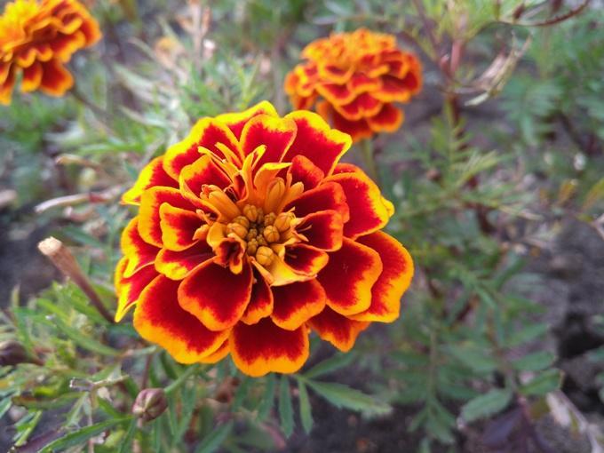 Примеры фото с ZTE Nubia Z11 цветок